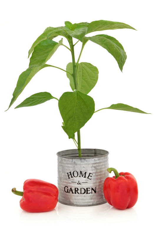 Tomato plant in can that says Home and Garden.